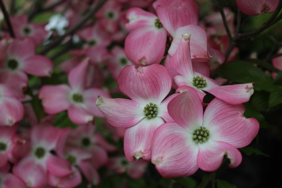 Amerikaanse rozebloeiende kornoelje