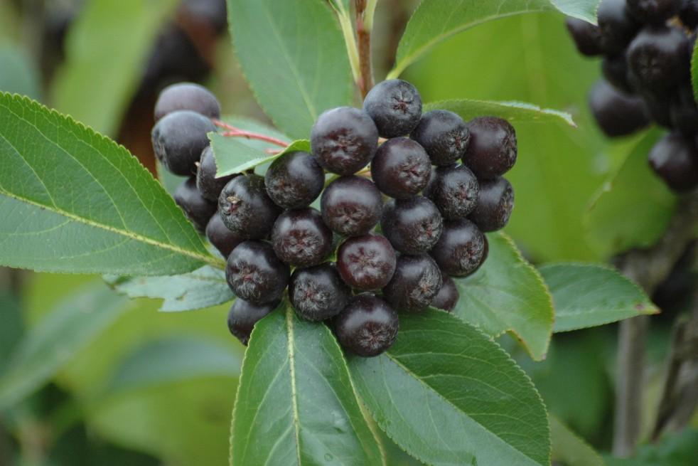 Black chokeberry - Aronia Melanocarpa