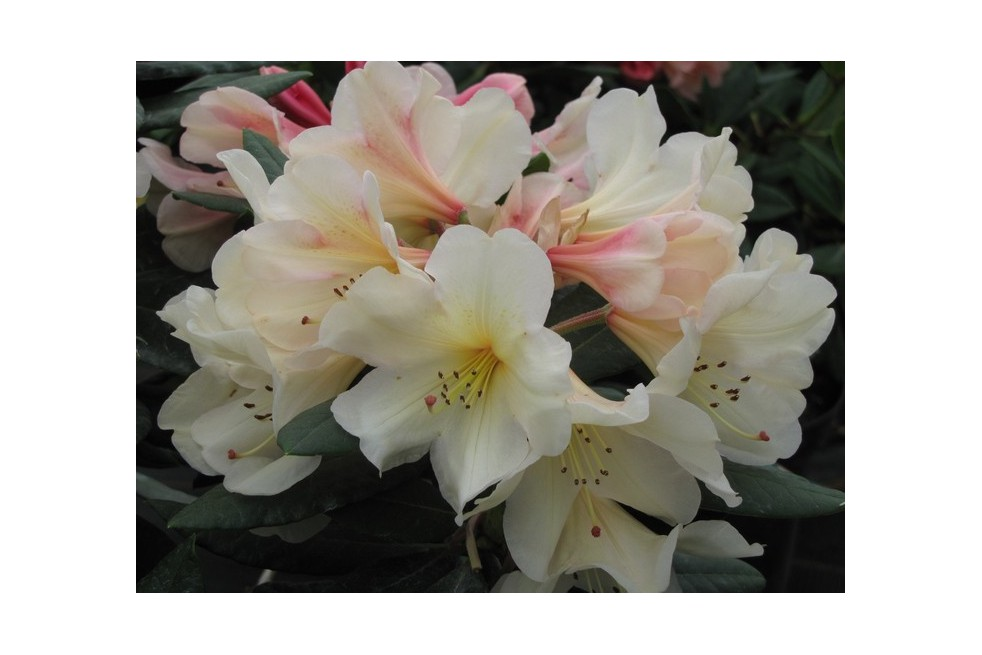 Rhododendron Azimut