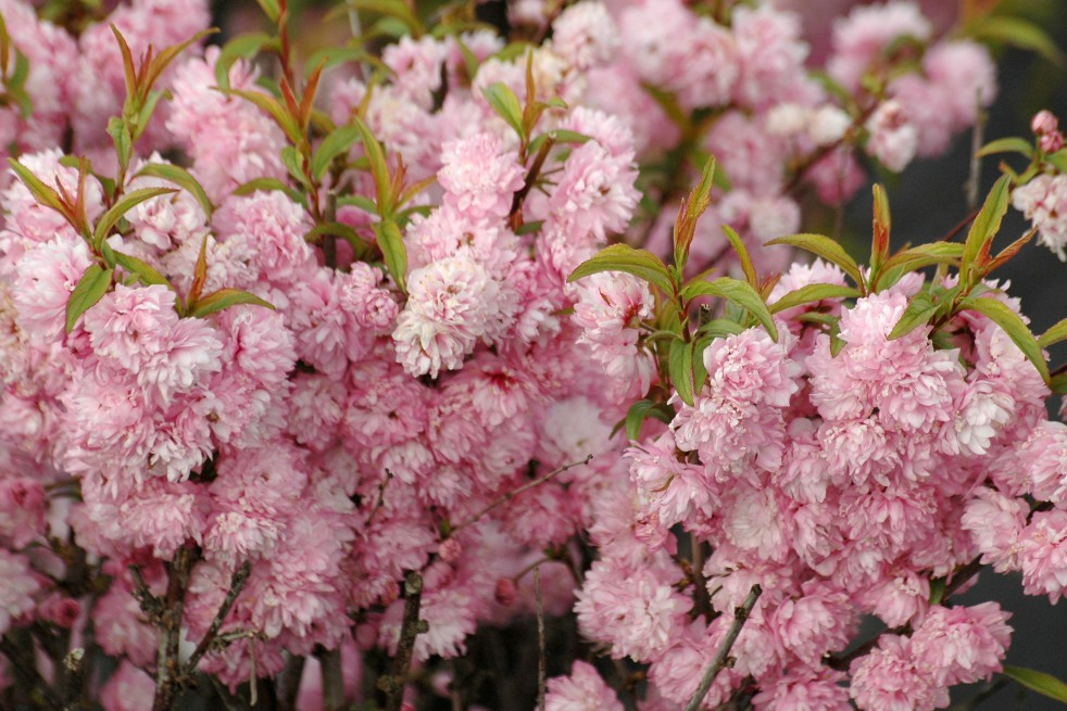 Pink Double Flowering Almond