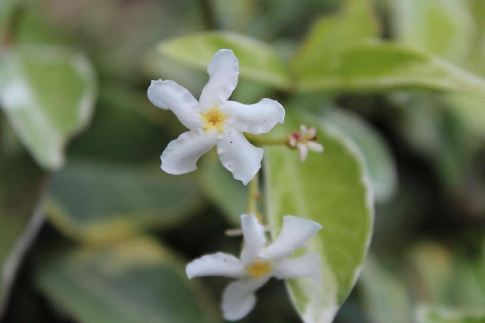 Variegated Star Jasmine