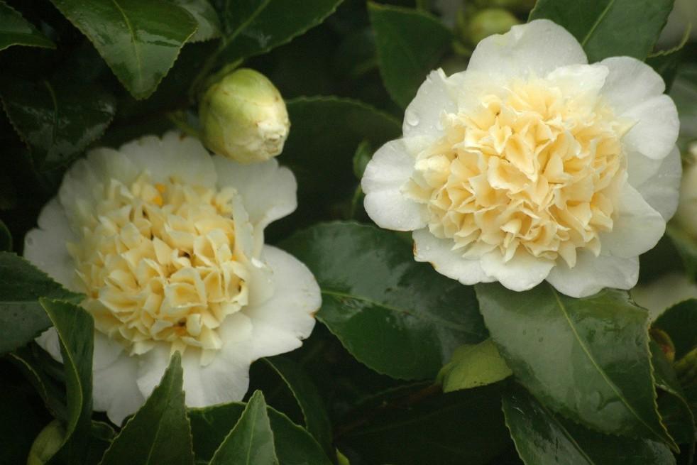 Yellow camellia
