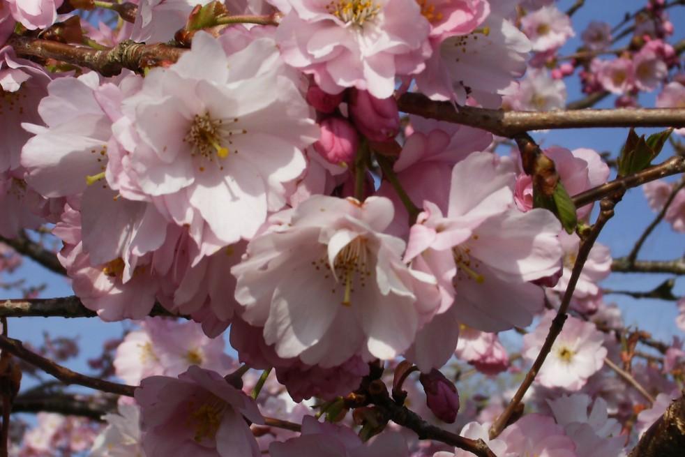 Cherry Blossom Accolade