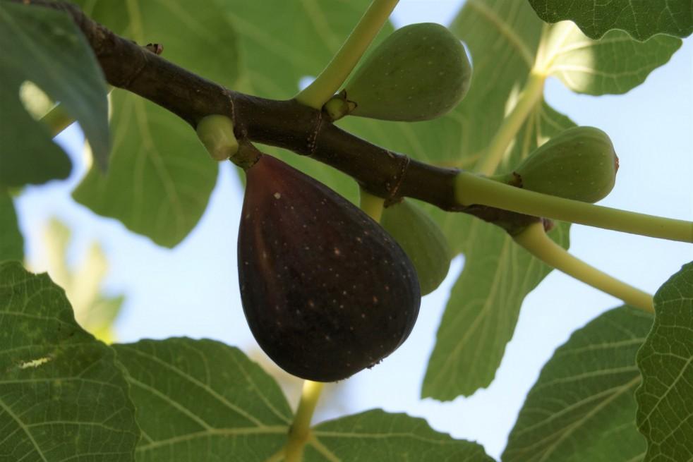 Fig tree Precoce de Dalmatie