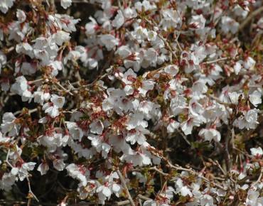 Cerisier à fleurs nain du Japon