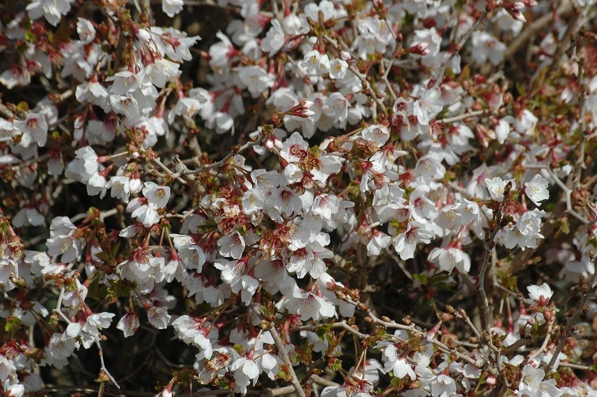 Hauteur Cerisier Du Japon cerisier à fleurs nain du japon