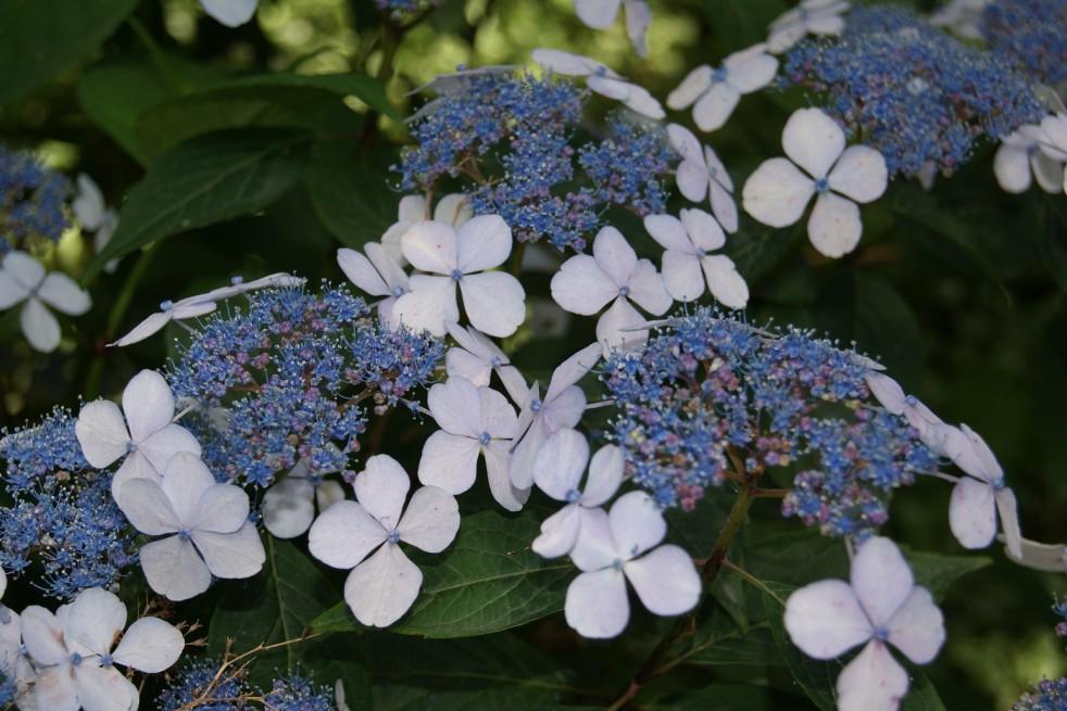 Hortensia bleu des montagnes