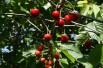Cerisier nain Sylvia « colonnaire »