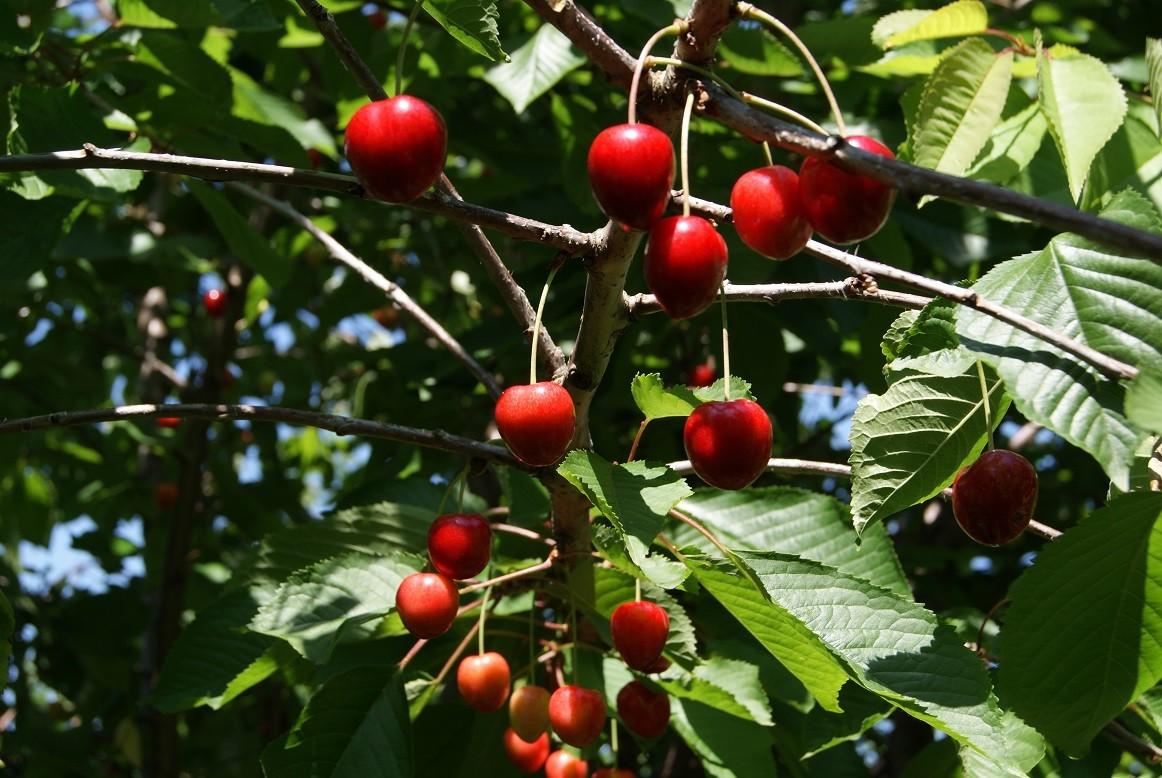 Arbuste Nain Persistant Plein Soleil cerisier nain sylvia - cerisier nain colonnaire - prunus avium sylvia