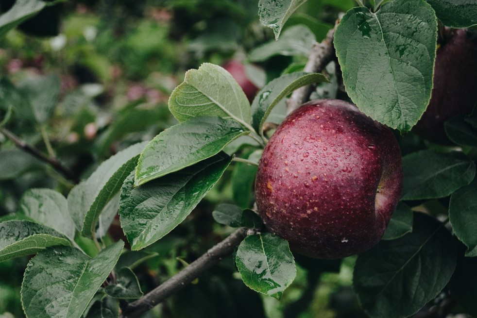Red Devil appelboom