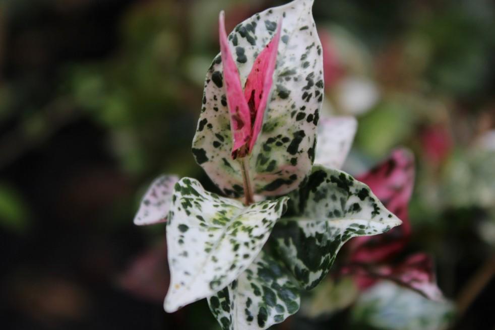 Tricolor Bontbladige Sterjasmijn