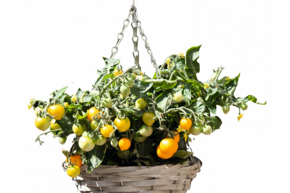 Cherry Yellow tomato hanging basket