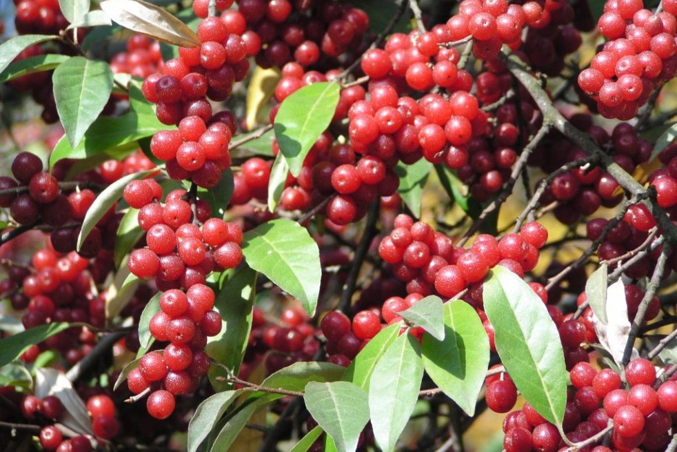 Japanese silverberry