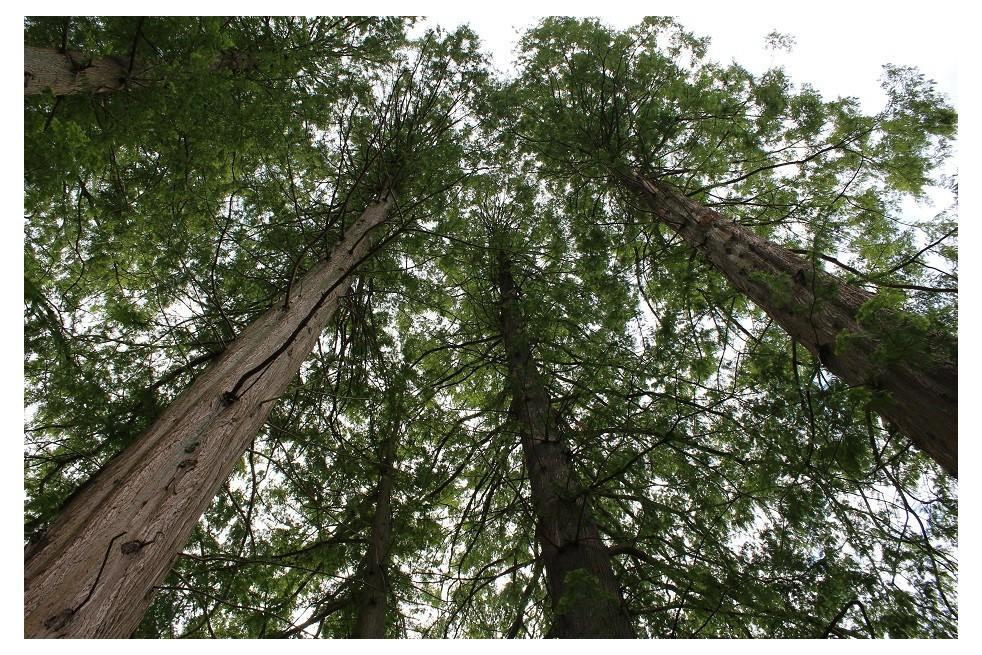 Métaséquoia du Sichuan
