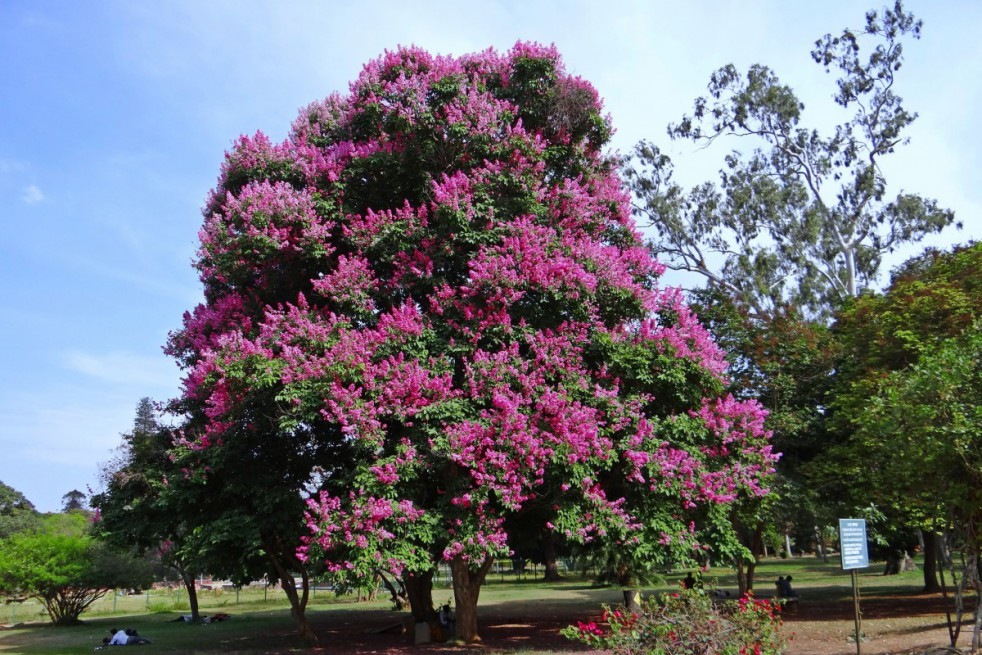 Lilas des Indes violet
