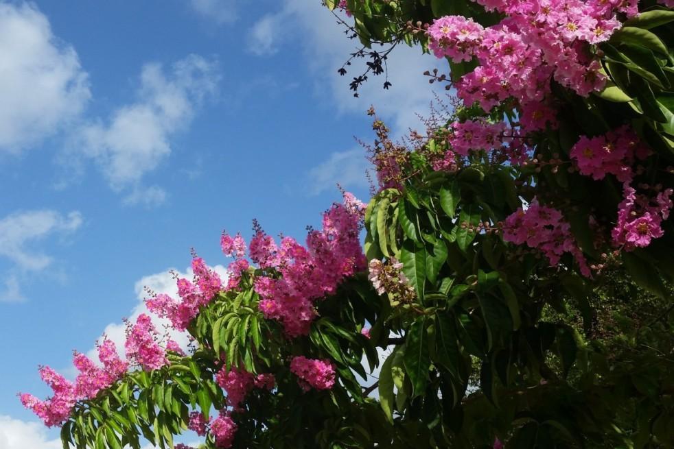 Lilas des Indes rose pâle