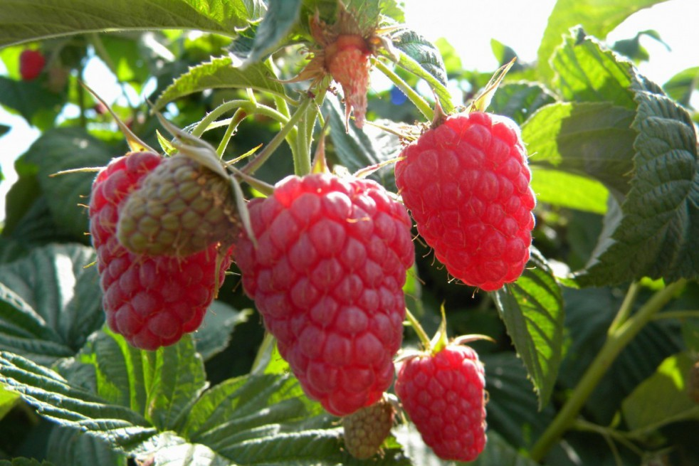 Raspberry Autumn bliss - double cropping variety