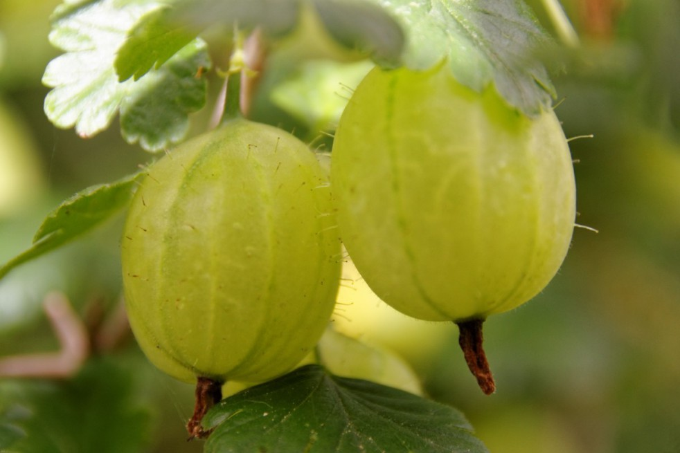 Yellow gooseberry - https://creativecommons.org/licenses/by-sa/3.0/deed.en