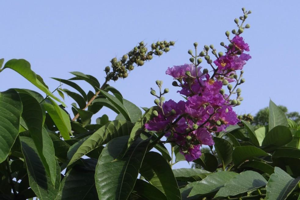 Lilas des Indes nain violet