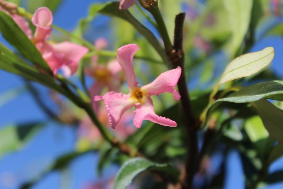 Jasmin étoilé rose
