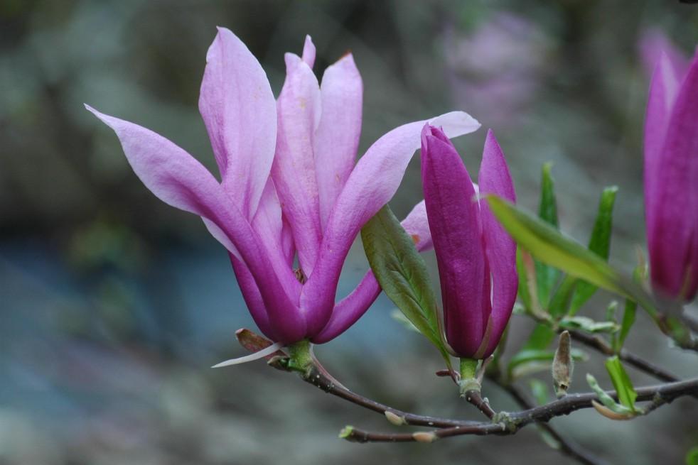 Magnolia Kosar De Vos Susan