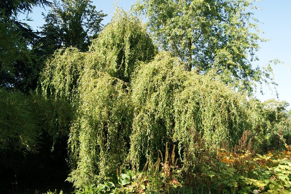 Red Twisted Willow
