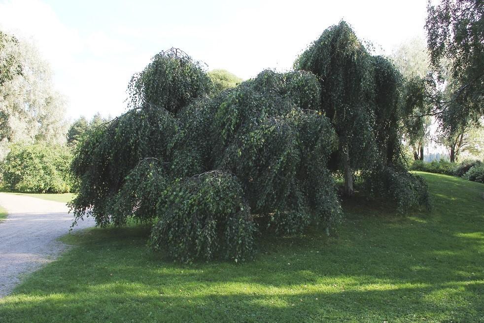 Betula youngii (I.Sáček-senior Public domain)
