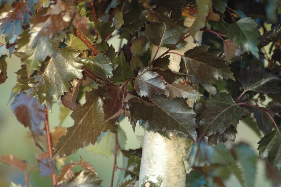 Royal Frost purple birch