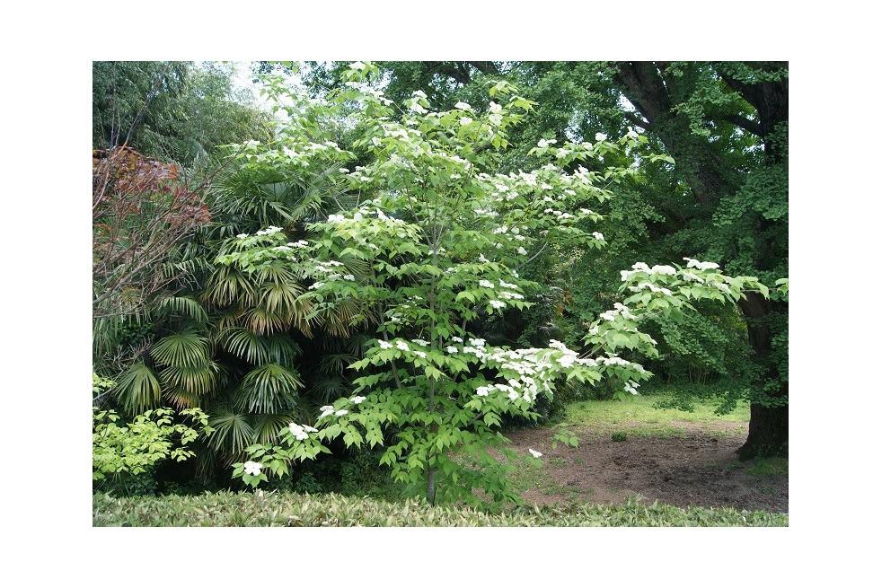 Flowering Chinese Dogwood