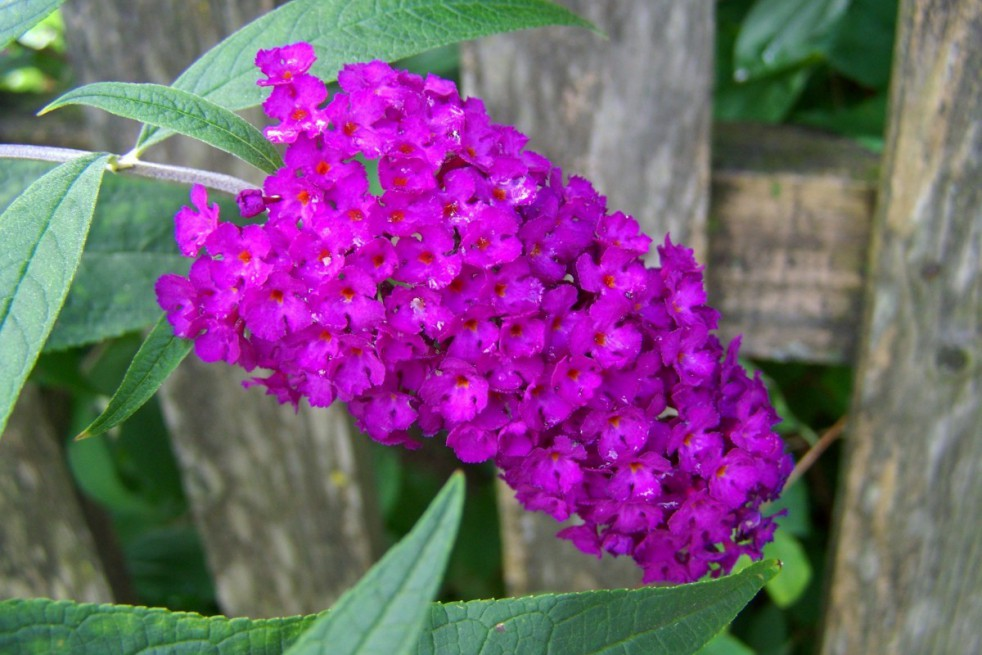 Butterfly-bush Royal Red