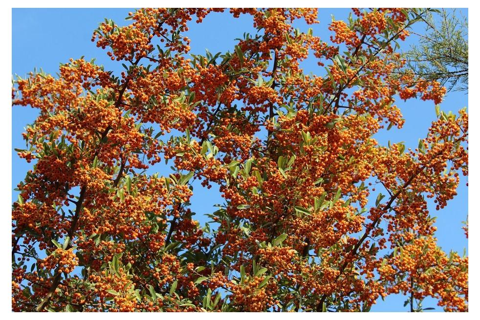 Firethorn Orange Glow
