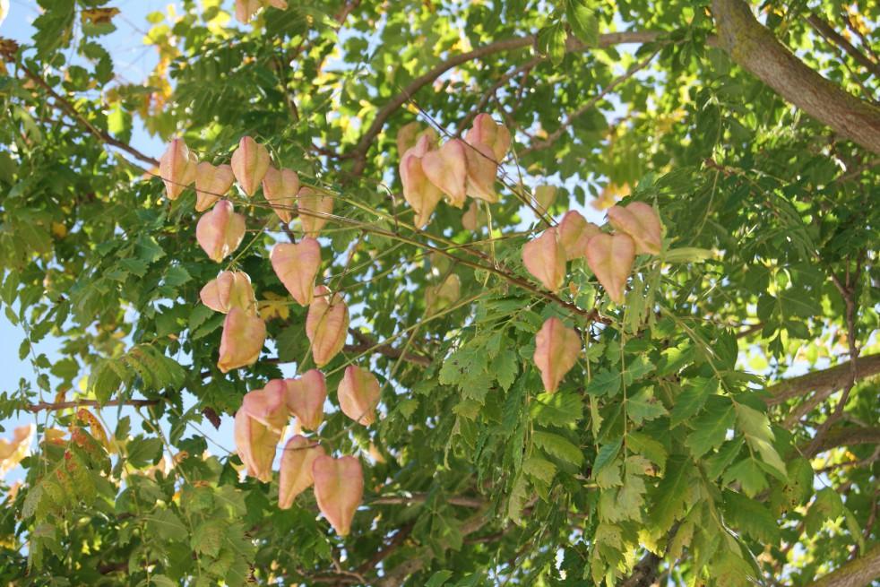 Panicled Goldenrain tree - Koelreuteria Paniculata