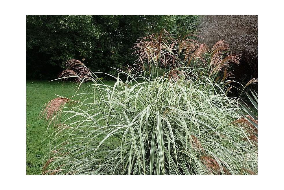 Variegated Japanese silver grass (Krzysztof Ziarnek, Kenraiz, CC BY-SA 4.0 , via Wikimedia Commons)