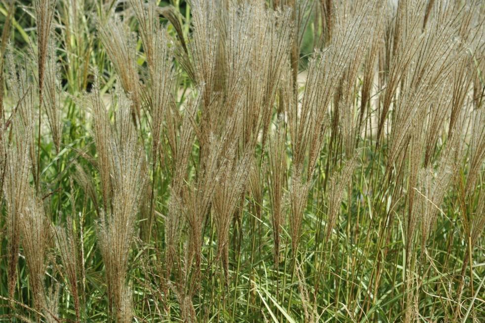 Chinese silver grass Kleine Silberspinne