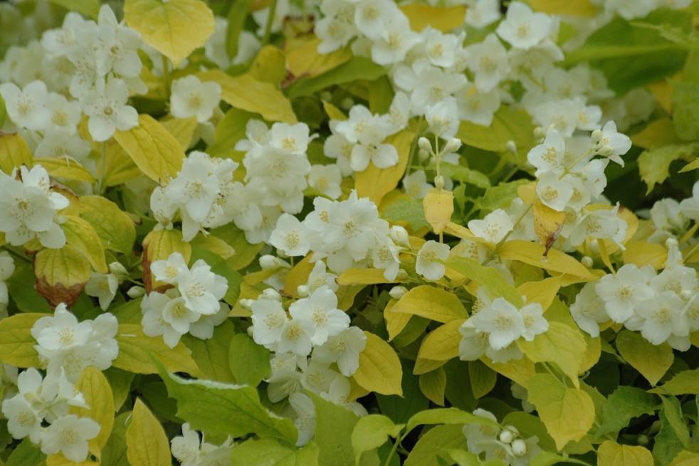 Seringat des jardins doré