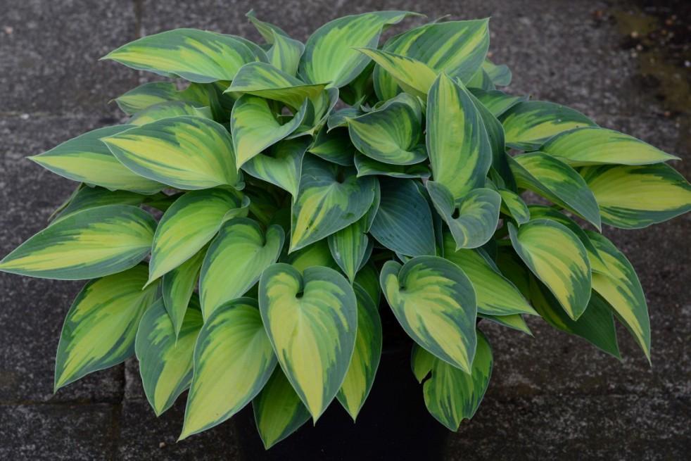 Plantain lilies Paul's Glory