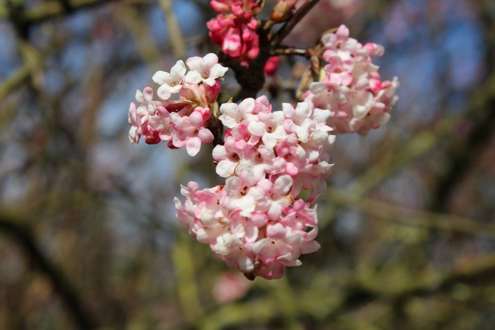 Pink Viburnum Charles Lamont