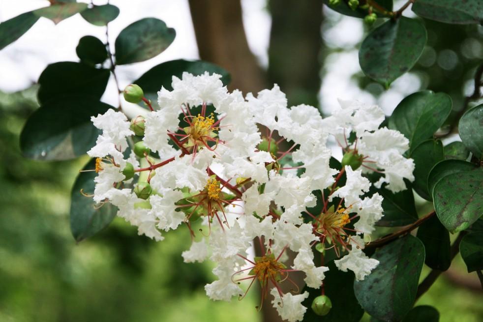 White Crape myrtle