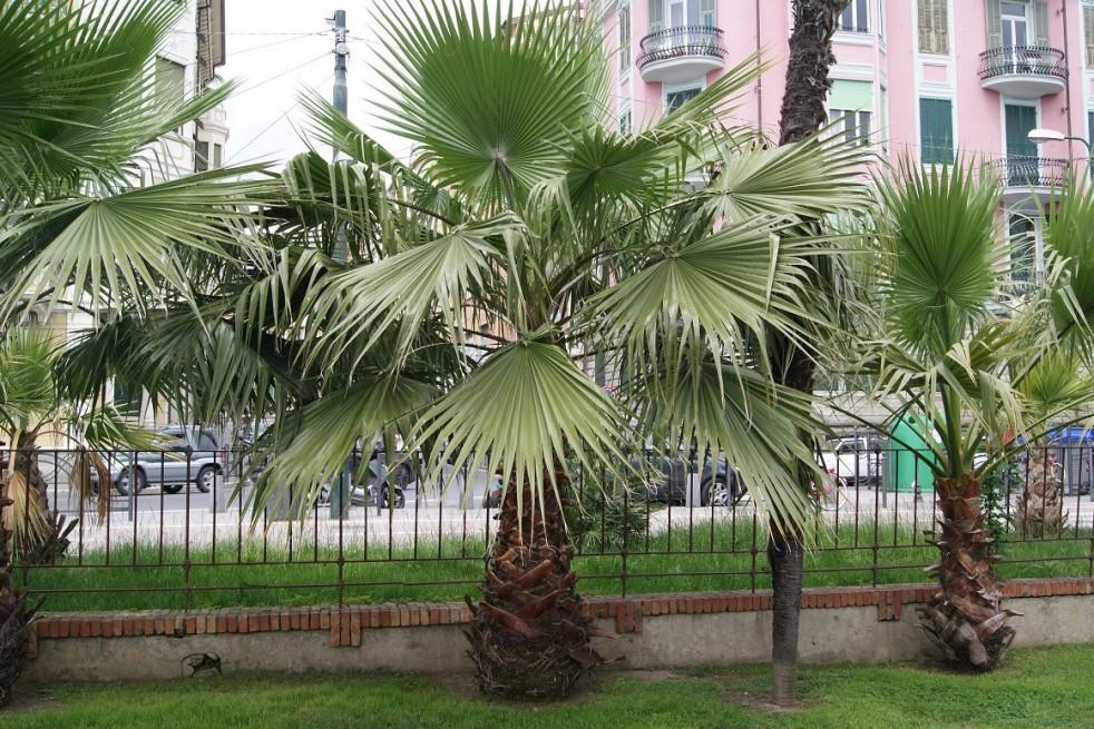 Palmier du Mexique