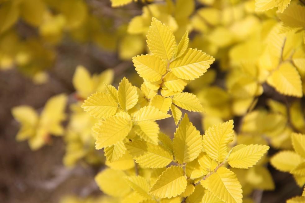 Orme nain à feuilles dorées