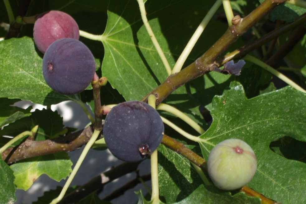 Fig tree Sultane
