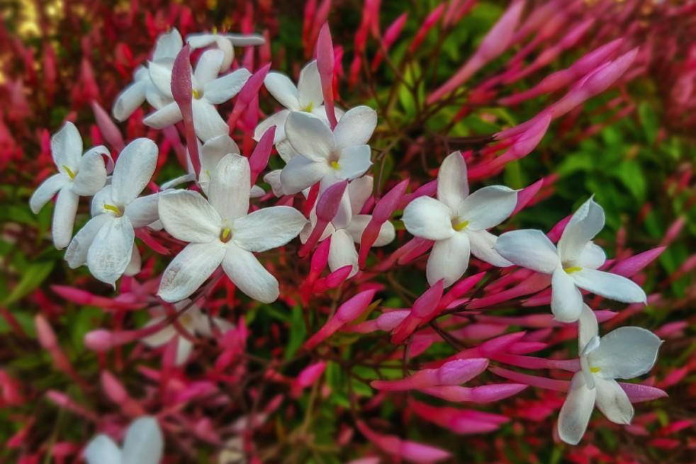 Many-flowered jasmine dark red-leaved
