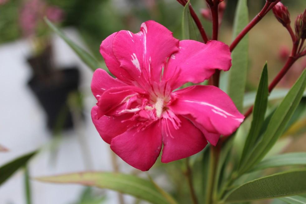 Laurier Rose Commandant Barthélémy