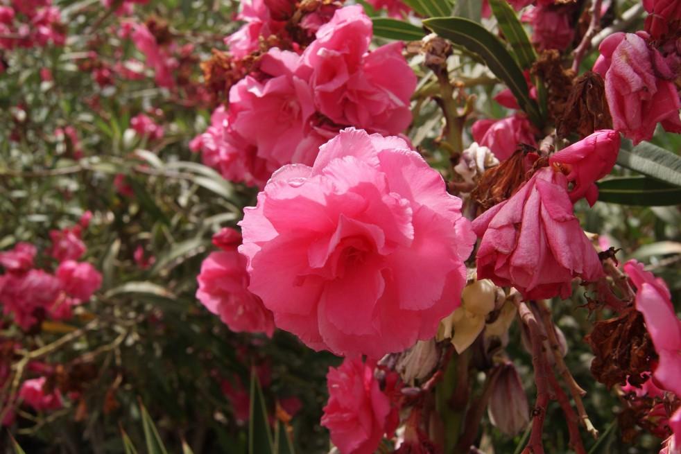 Rose des Borels Oleander