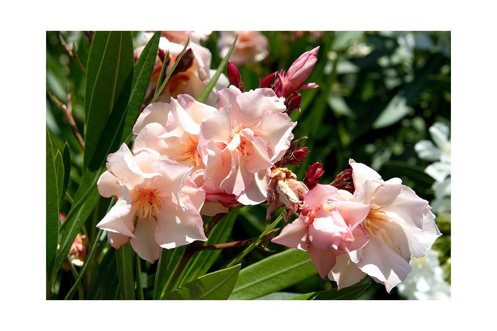 Provence Oleander