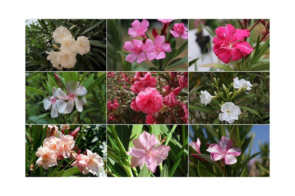 The collection of oleanders