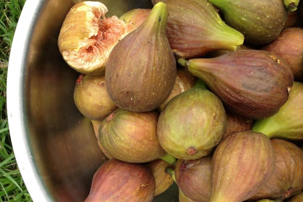 Fig tree Longue d'août