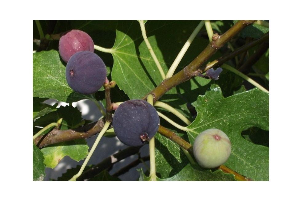 Fig tree Noire de Caromb