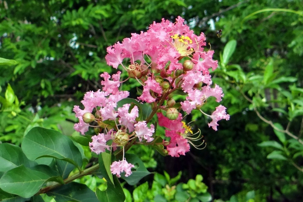Lagerstroemia roze