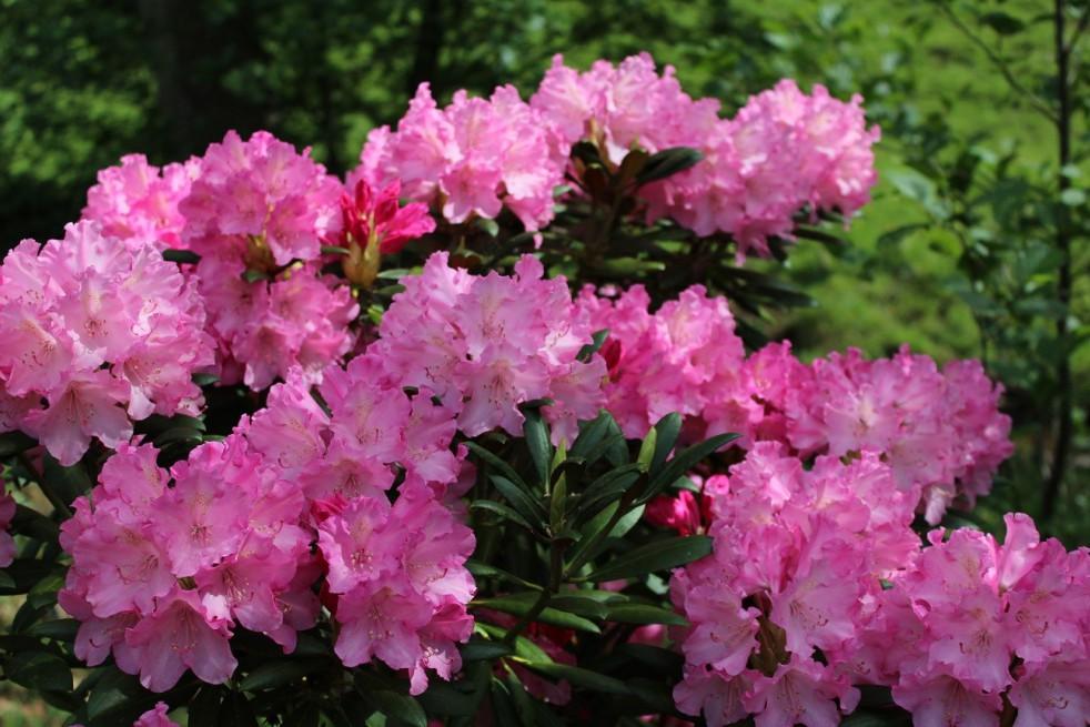 Rhododendron Yakushimanum Kalinka